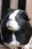 Czarny I Biały Guineapig Zdjęcia Stock