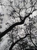 Czarny i biały jacaranda drzewo przeciw chmurnemu niebu Fotografia Stock
