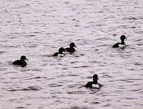 Czarny i biały kaczki formacja Zdjęcie Stock