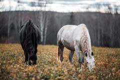 Czarny i biały konie Zdjęcia Stock