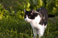 Czarny i biały kot Fotografia Royalty Free