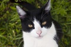 Czarny i biały kot Zdjęcie Royalty Free