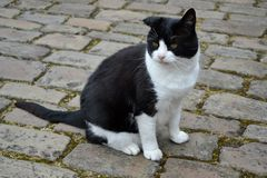Czarny i biały kot Obrazy Royalty Free