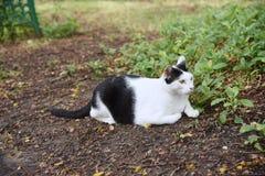 Czarny i biały kot siedzi na parku Obraz Royalty Free