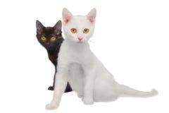 Czarny i biały koty obraz royalty free