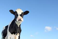 Czarny i biały krowa Zdjęcia Stock