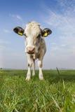 Czarny I Biały krowa Zdjęcie Stock