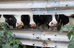 Czarny I Biały krowy patrzeje przez metali barów Zdjęcia Stock