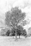 Czarny i biały lato topola Zdjęcie Royalty Free