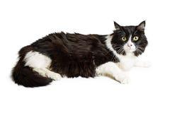 Czarny I Biały Longhair kot Obraz Stock
