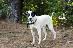 Czarny i biały mieszany trakenu pies Zdjęcia Royalty Free