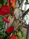 Czarny i biały motyle na kwiacie Fotografia Royalty Free