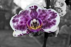 Czarny i biały orchidea Zdjęcia Stock
