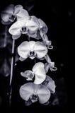 Czarny i biały orchidee Obraz Royalty Free