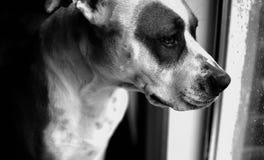 Czarny I Biały - pies obrazy stock