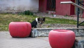 Czarny i biały pies siedzi przy ogrodzeniem Fotografia Stock