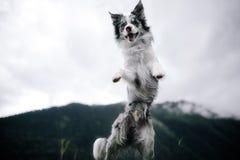 Czarny i biały pies w polu w naturze blisko gór fotografia royalty free