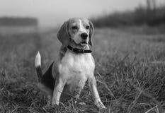 Czarny i biały portret beagle Obrazy Stock