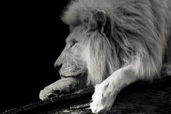 Czarny i biały portret lew Zdjęcia Stock