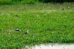 Czarny i biały ptak w polu Obraz Stock