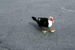 Czarny i biały ptak z czerwonym belfrem Obraz Stock