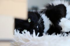 Czarny I Biały Ragdoll kot na Puszystej Powszechnej patrzeje kamerze Zdjęcie Stock