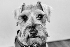 Czarny i biały schnauzer pies Zdjęcia Royalty Free