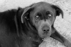 Czarny I Biały smutna psia twarz Obraz Stock