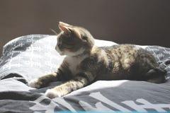 Czarny i biały szary tabby Europeeun kot Zdjęcie Stock