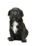 Czarny i biały szczeniak na tle fotografia stock