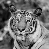 Czarny i biały tygrys Fotografia Stock
