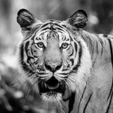 Czarny i biały tygrys Zdjęcia Stock