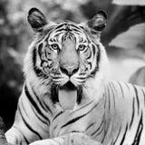 Czarny i biały tygrys Zdjęcia Royalty Free