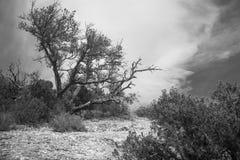 Czarny i biały drzewo Fotografia Royalty Free