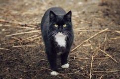 Czarny i biały kot Obraz Royalty Free