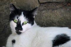Czarny i biały kot z zielonymi oczami Fotografia Stock