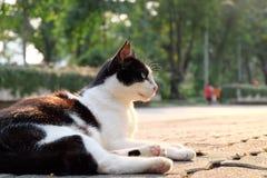 Czarny i biały kota gapić się Obrazy Stock