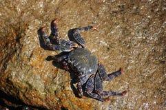 Czarny i czerwony krab na skale Fotografia Stock