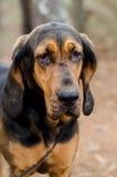 Czarny i Dębny Bloodhound pies Fotografia Royalty Free