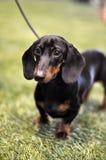 Czarny i dębny jamnika pies na wystawie Fotografia Royalty Free