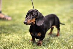 Czarny i dębny jamnika pies na wystawie Obrazy Royalty Free