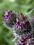 Czarny i pomarańczowy heteroptera siedzi na osecie Obrazy Royalty Free