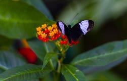Czarny i purpurowy motyl zdjęcia royalty free