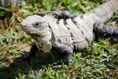 czarny iguany czarny ogoniasty Zdjęcie Stock
