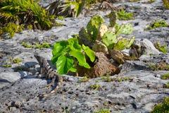 czarny iguany czarny ogoniasty Zdjęcia Stock