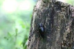 Czarny insekt lub pluskwa Obraz Stock