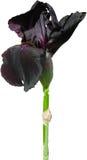 Czarny irys na białym tle Obraz Royalty Free