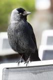 Czarny jackdaw na krześle Fotografia Stock