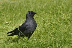 Czarny jackdaw w trawie Fotografia Royalty Free
