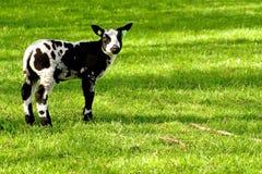 czarny jagnięcy biały potomstwa Obrazy Royalty Free
